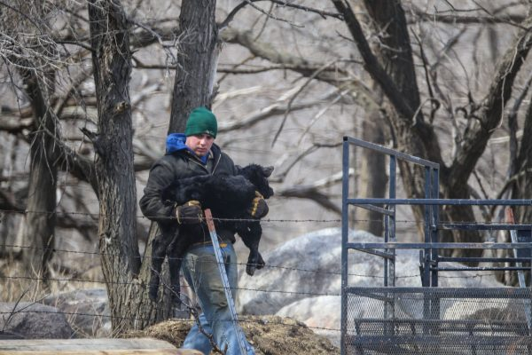 Greg Breker helps a newborn calf to safety after a busy morning in the birthing pen.