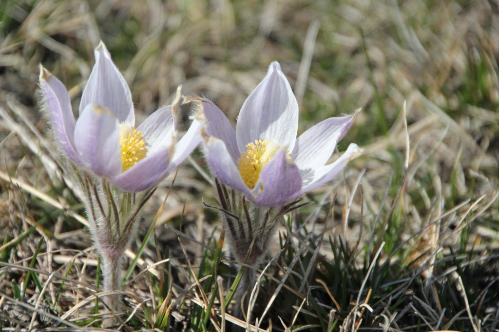 Crocus flowers in the hill pasture