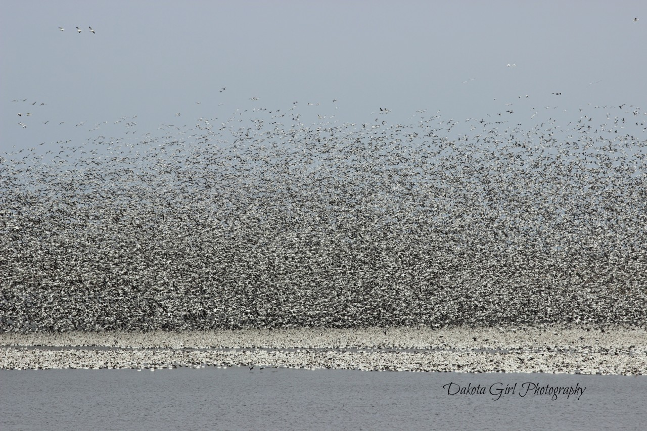 Lake Tewaukon, spring waterfowl migration. Photo by Kristine Harris / Dakota Girl Photography. Kristine is a past attendee of PhotoRx Getaway. Photo used with permission.