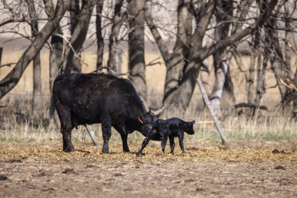 A cow helping her newborn calf stand up for the first time!